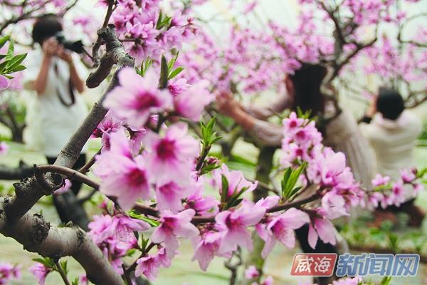 里口山大棚桃树盛花期