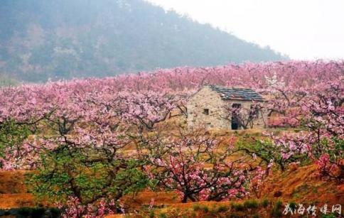 樱桃花开俏争春