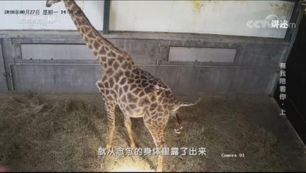 威海这家山野生动物世界上央视!讲述长颈鹿生产过程