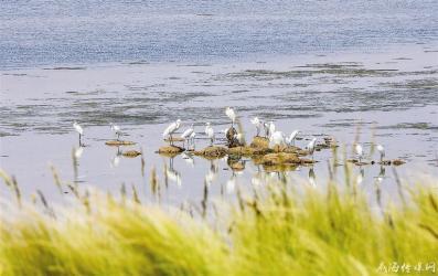 樱花湖上白鹭飞