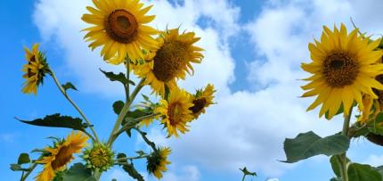 朵朵葵花向阳开