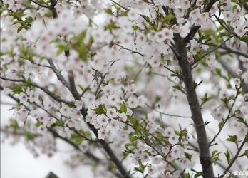 威海:网红樱花大道如童话世界