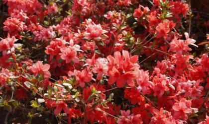 花团锦簇,阡陌纵横!威海温泉镇杜鹃盛满园
