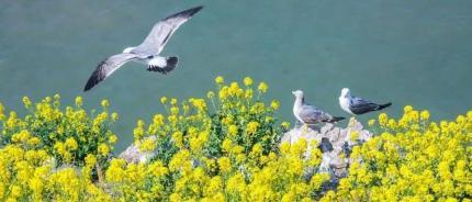 鹅去鸥来,春到威海更精彩!
