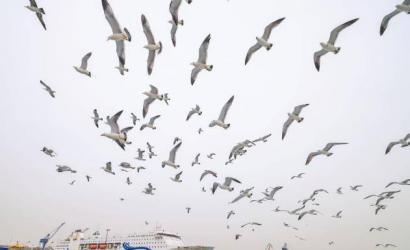 威海:和黑尾鸥一起拥抱这个春天